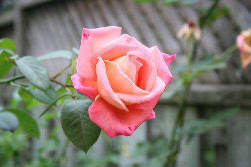 Rose from garden
