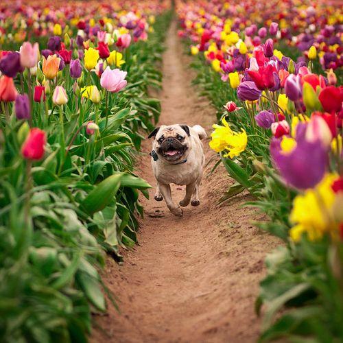 Easter pug