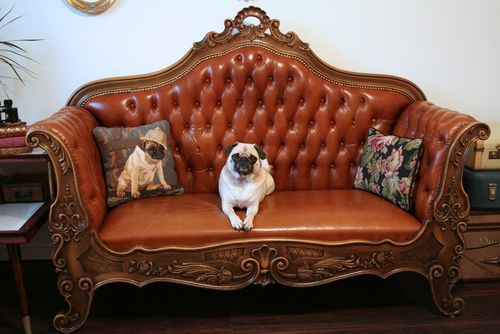 Pug on antique couch