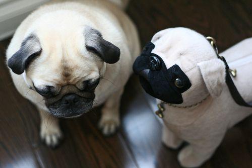Pug with pug purse